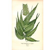 Favourite flowers of garden and greenhouse Edward Step 1896 1897 Volume 4 0315 Pteris Quadriaurita Photographic Print