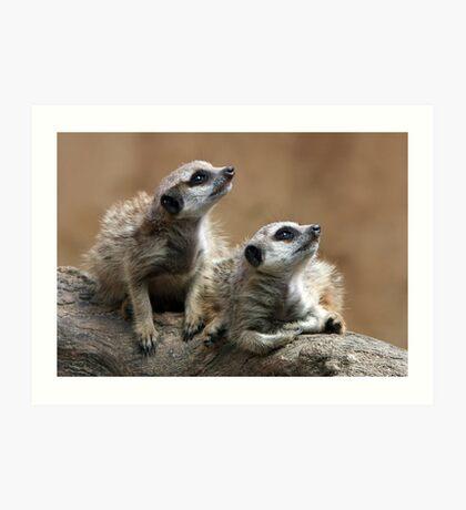 Baby Meerkats Art Print