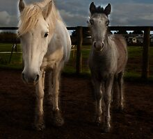Eriskay mare and foal by David Ford Honeybeez photo