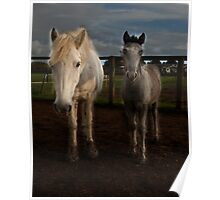 Eriskay mare and foal Poster