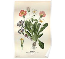 Favourite flowers of garden and greenhouse Edward Step 1896 1897 Volume 3 0056 Primrose Poster