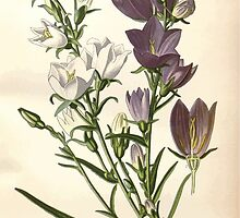 Favourite flowers of garden and greenhouse Edward Step 1896 1897 Volume 3 0026 Peach Leaved Bell Flower by wetdryvac