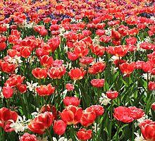 Tulips by gabbylawson