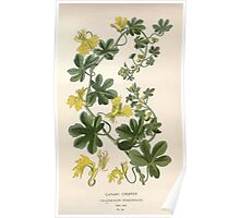 Favourite flowers of garden and greenhouse Edward Step 1896 1897 Volume 1 0183 Canary Creeper Poster