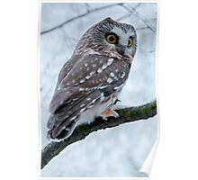 Northern Saw Whet Owl Branch Poster