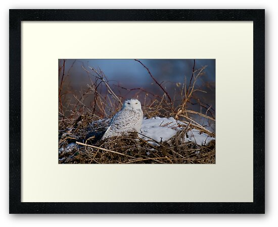Snowy Owl on Hill Top - Amherst Island, Ontario by Michael Cummings