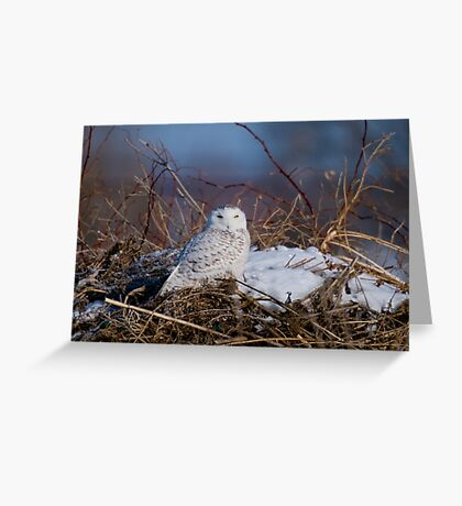 Snowy Owl on Hill Top - Amherst Island, Ontario Greeting Card