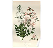 Favourite flowers of garden and greenhouse Edward Step 1896 1897 Volume 1 0192 Burning Bush Poster