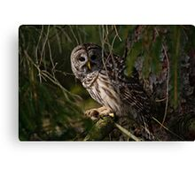 Barred Owl in Pine Tree -  Brighton, Ontario - 4 Canvas Print