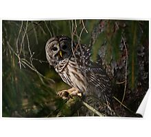 Barred Owl in Pine Tree -  Brighton, Ontario - 4 Poster