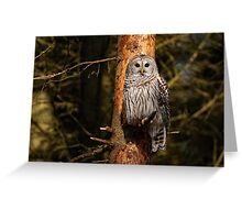 Barred Owl in Pine Tree -  Brighton, Ontario Greeting Card