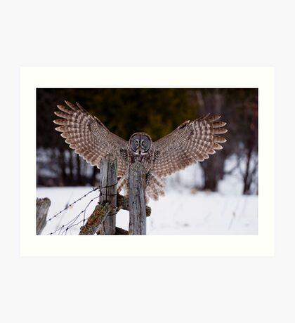 Great Grey Owl Art Print