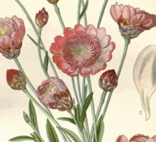 Favourite flowers of garden and greenhouse Edward Step 1896 1897 Volume 3 0016 Annual Immortelle Sticker