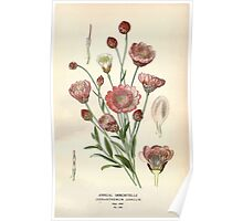 Favourite flowers of garden and greenhouse Edward Step 1896 1897 Volume 3 0016 Annual Immortelle Poster