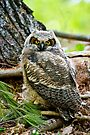 Great Horned Owlet by Michael Cummings