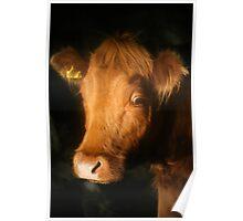 Night Cow - Scotland Poster