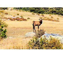 Baby Elk  Photographic Print