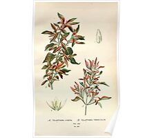 Favourite flowers of garden and greenhouse Edward Step 1896 1897 Volume 3 0248 Telanthera Amaena and Versicolor Poster