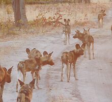 Wild Dogs on the Hunt - Okavango Delta, Botswana by Nina Brandin