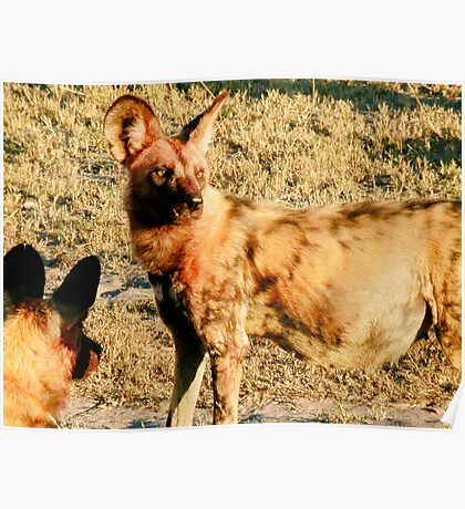 Pregnant Female Wild Dog After the Hunt - Okavango Delta, Botswana Poster