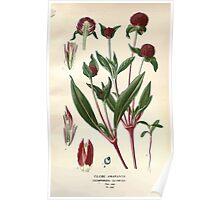 Favourite flowers of garden and greenhouse Edward Step 1896 1897 Volume 3 0251 Globe Amaranth Poster