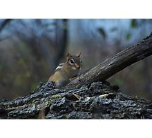 woodland critter Photographic Print