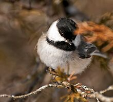 Black Capped Chickadee by Michael Cummings