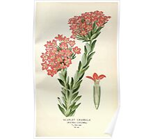 Favourite flowers of garden and greenhouse Edward Step 1896 1897 Volume 2 0055 Scarlet Crassula Poster
