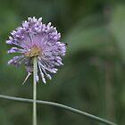 Purple bloom of wild Garlic  by Jeff Stroud