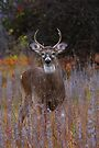 'The Prince' - White-tailed Deer by Jim Cumming