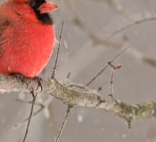Male Northern Cardinal Sticker