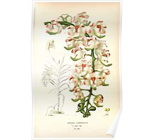 Favourite flowers of garden and greenhouse Edward Step 1896 1897 Volume 4 0055 Aerides Lawrenceae Poster