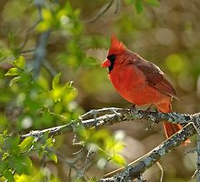 Northern Cardinal - Ottawa, Ontario by Michael Cummings