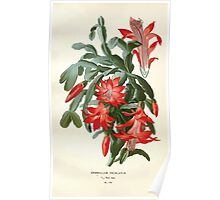 Favourite flowers of garden and greenhouse Edward Step 1896 1897 Volume 2 0130 Epiphyllum Truncatum or Christmas Cactus Poster