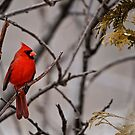 Male Northern Cardinal - Ottawa Ontario by Michael Cummings