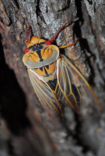 Yellow Monday cicada by iandsmith