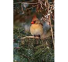 Female Northern Cardinal in Spruce Tree - Ottawa, Ontario Photographic Print