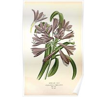Favourite flowers of garden and greenhouse Edward Step 1896 1897 Volume 4 0171 African Lily Poster