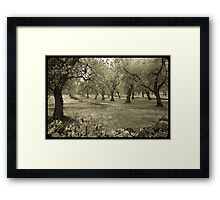 Olive grove and rock wall Framed Print