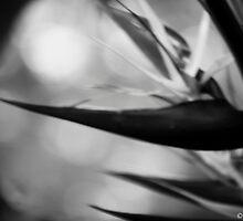 Bird of Paradise by Jodyb