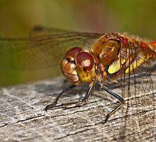 Common Darter dragonfly  by Shaun Whiteman