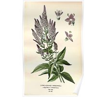 Favourite flowers of garden and greenhouse Edward Step 1896 1897 Volume 3 0192 Long Leaved Speedwell Poster