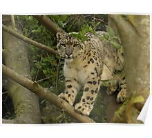 snow leopard too cute, too beautiful, too few Poster