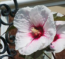 Hibiscus  by Imagery