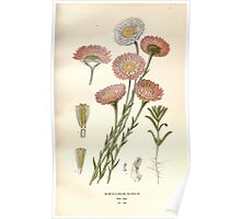 Favourite flowers of garden and greenhouse Edward Step 1896 1897 Volume 2 0184 Acroclinium Roseum Poster