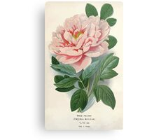 Favourite flowers of garden and greenhouse Edward Step 1896 1897 Volume 1 0003 Tree Peony Metal Print