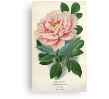 Favourite flowers of garden and greenhouse Edward Step 1896 1897 Volume 1 0003 Tree Peony Canvas Print