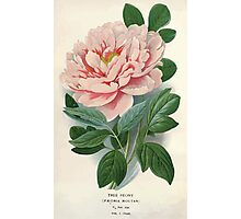 Favourite flowers of garden and greenhouse Edward Step 1896 1897 Volume 1 0003 Tree Peony Photographic Print