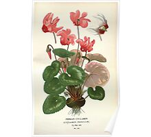 Favourite flowers of garden and greenhouse Edward Step 1896 1897 Volume 3 0071 Persian Cyclamen Poster