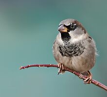 House Sparrow by (Tallow) Dave  Van de Laar